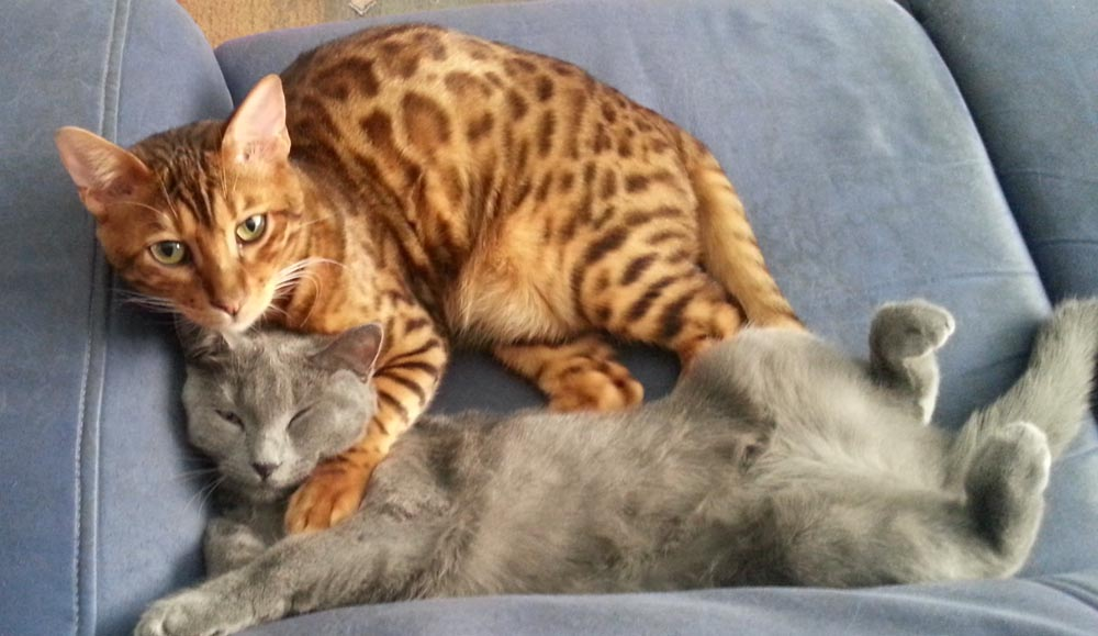 Hindiana et chaton chartreux
