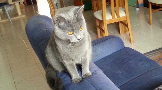 Isleen, chatte chartreuse âgée de 1 an