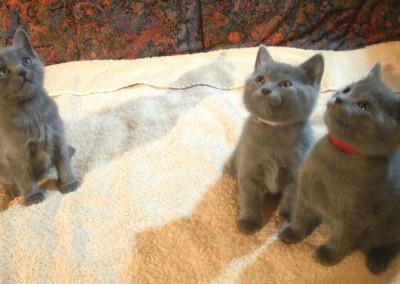 Les 3 chatons - A gauche, le mâle (5 semaines)