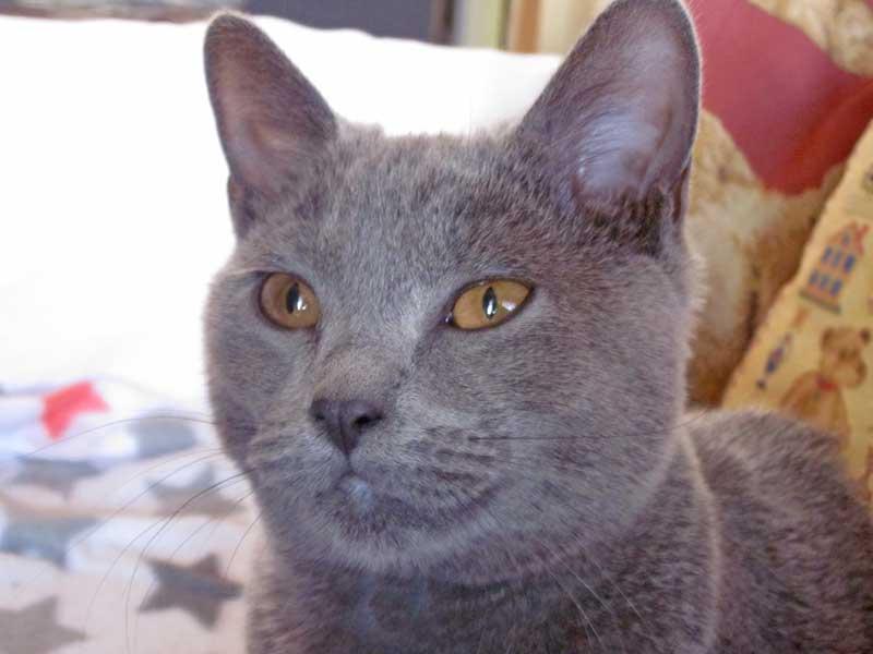 Joséa, chat chartreux âgé de 7 mois
