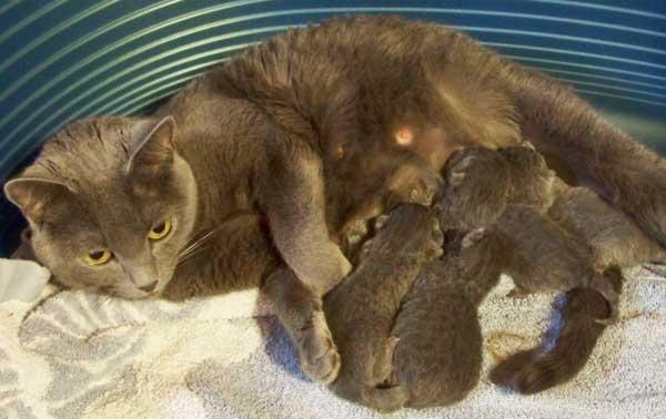 Portée de chatons chartreux