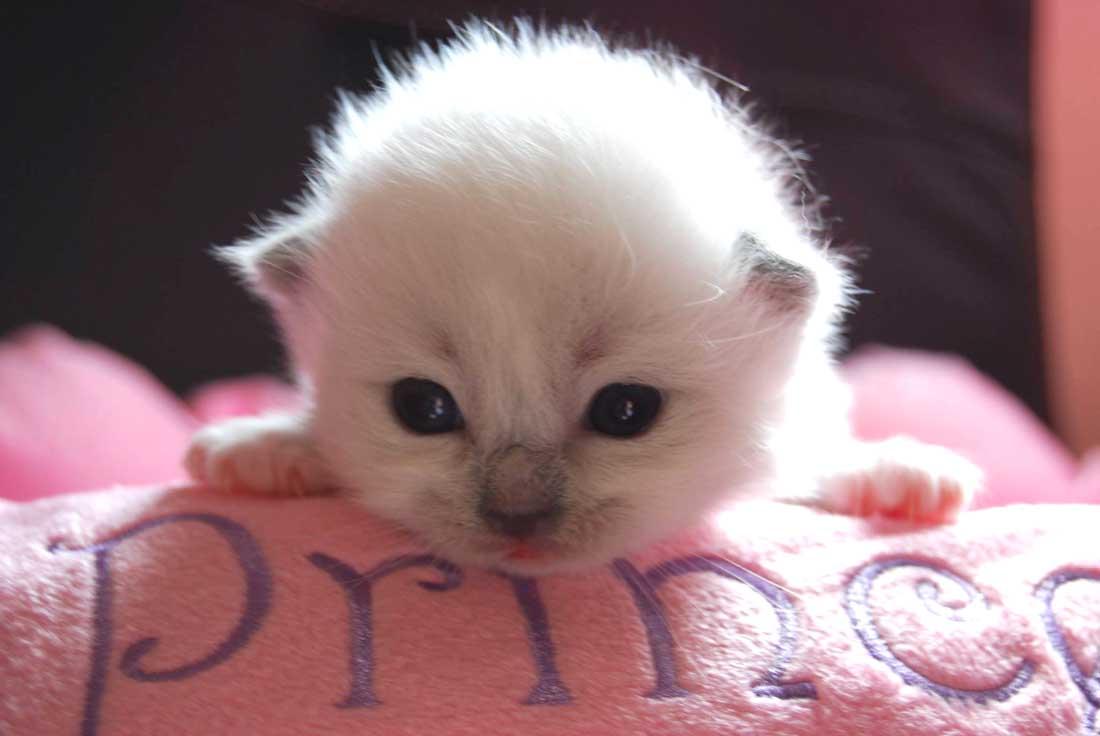 chaton ragdoll de 15 jours, élevage de Ragdollilo