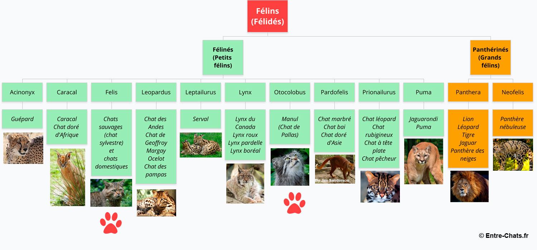 Arbre généalogique des félins (félidés) avec situation du chat domestique et du chat de pallas