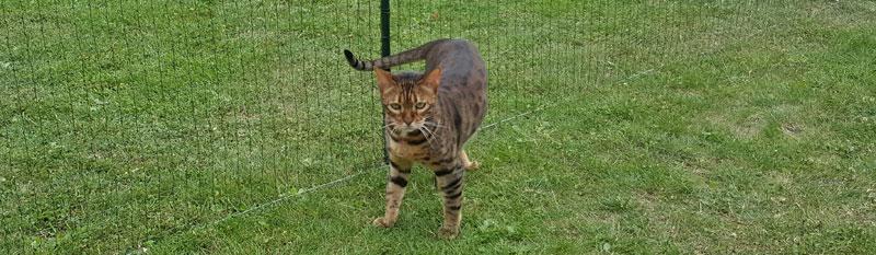 Feufollet, chat bengal, dans l'enclos du jardin