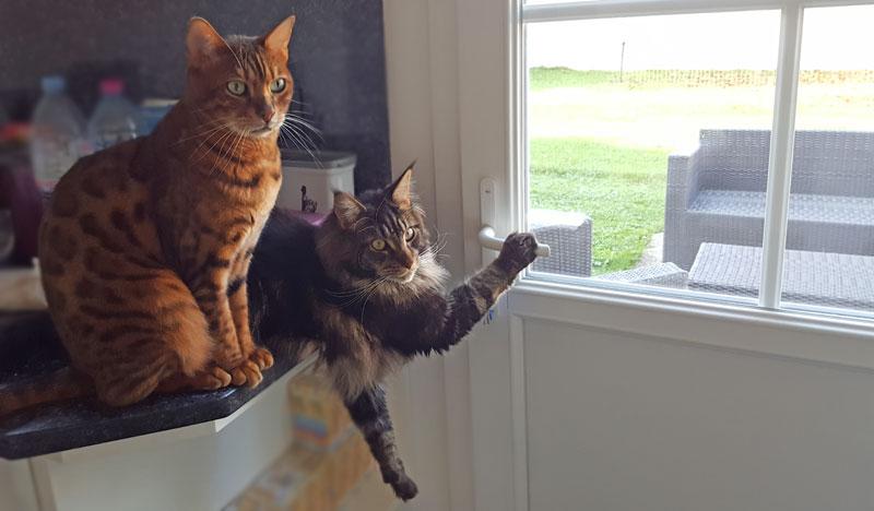 Bengal et maine coon voulant sortir dehors