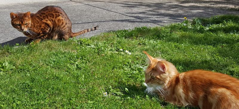 Hindiana, chat Bengal, observe Nevada qui est sur son territoire