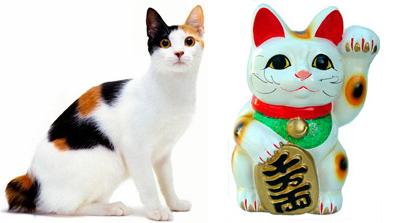Le chat bobtail Japonais comme modèle de Maneki-neko