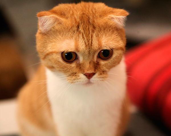 Scottish Fold, chat préféré des japonais