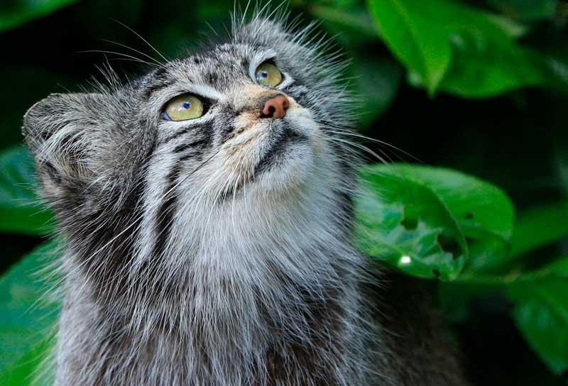 Le chat de Pallas, une tête à vous faire craquer