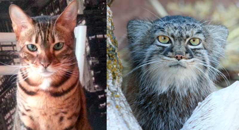 Comparaison entre le chat domestique et le chat de Pallas (manul)