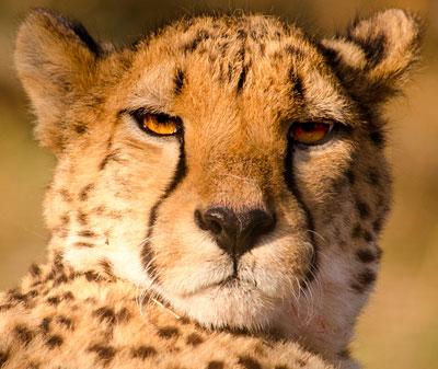 Tête de guépard - Blog Entre Chats