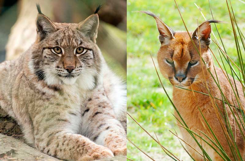 Les plumets aux oreilles d'un maine coon ressemblent à ceux du lynx ou du caracal