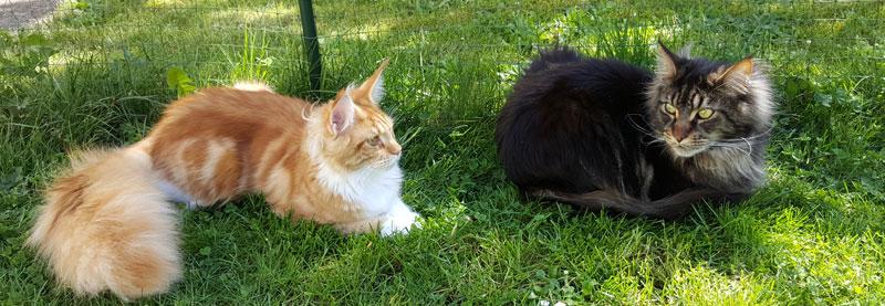 Nevada et MacFly de la Queen Gabby, chats de race Maine Coons, dans le jardin