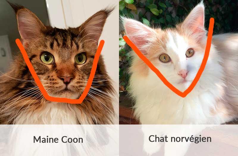 Comparaison entre la tête carrée du maine coon et la tête triangulaire du norvégien