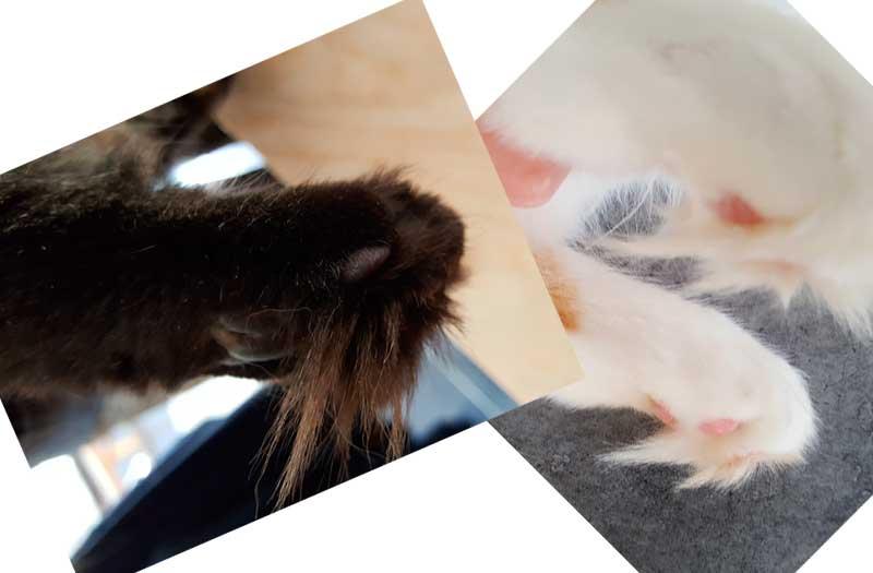 Pattes de maine coon avec touffes de poils