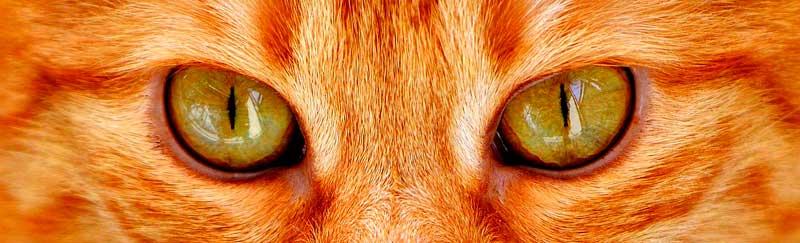 pupille en fente des yeux de chats