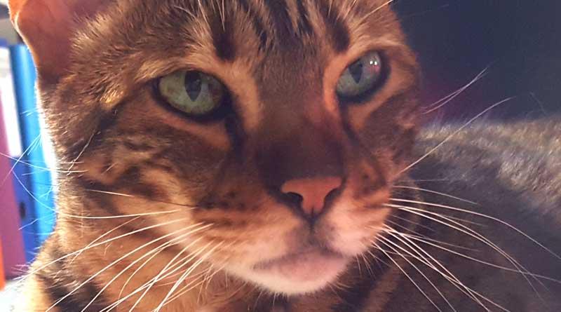 Ronronnement du chat sous l'effet du stress