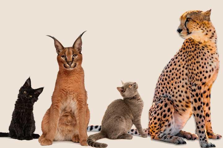 Chats de race et félins sauvages du monde entier