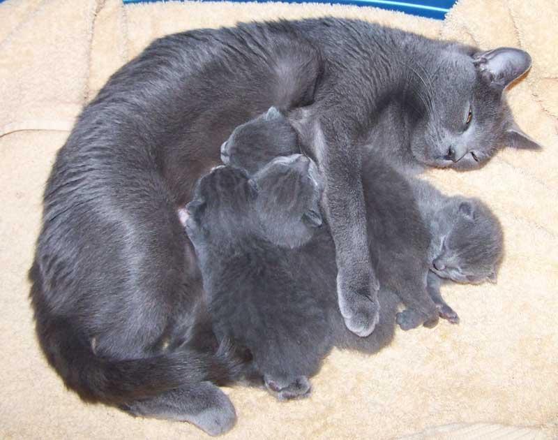 Le ronronnement de la chatte pendant la mise bas