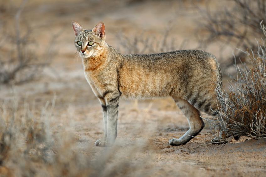 Chat ganté d'Afrique (Félis sylvestre lybica)