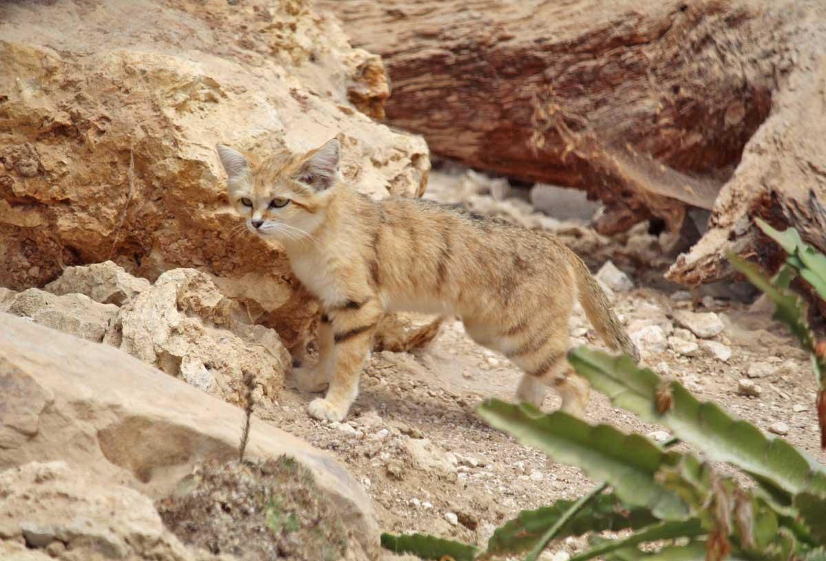 Chat des sables au Parc des Félins